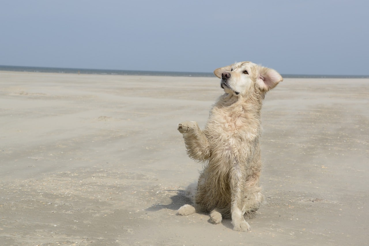 golden retriever, dog, beach