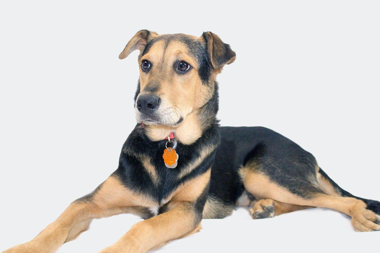 german shepherd, mix, rescue dog